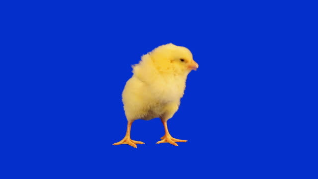Baby Chicken with luma matte video