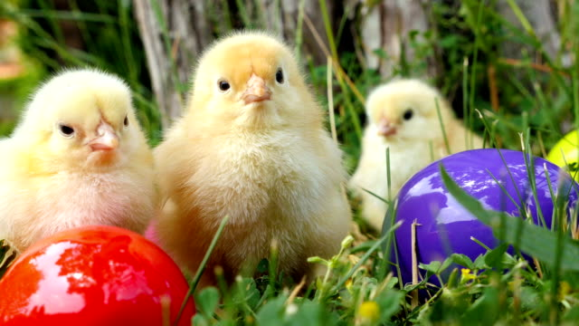 Baby chicks on the green grass among eatser eyes video