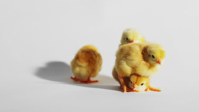 Baby chicks play together on a white background video