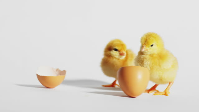 Baby chicks play with an eggshell on a white background video