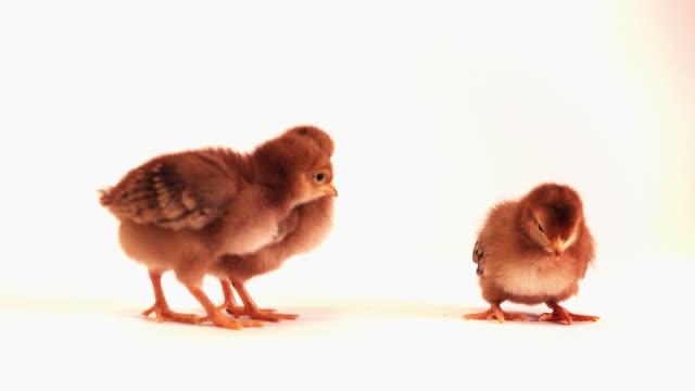 Baby Chicks Standing video
