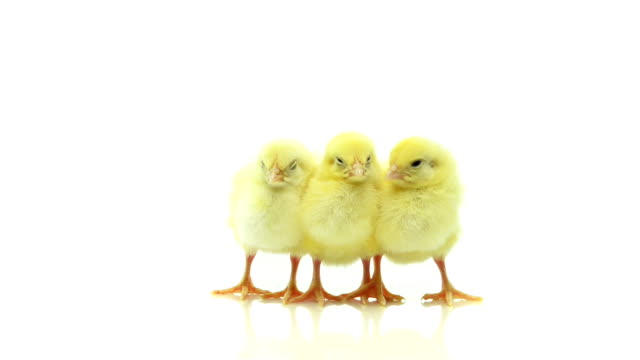 Baby chicks video