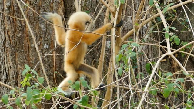 baby common gibbon (hylobates lar) in nature. - gibbone video stock e b–roll