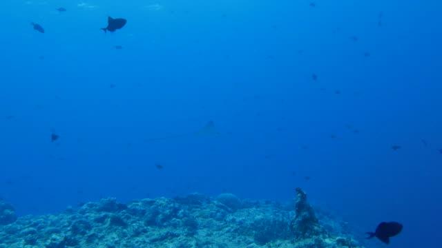 vídeos y material grabado en eventos de stock de eagleray bebé nadando contra la corriente del mar - zona pelágica
