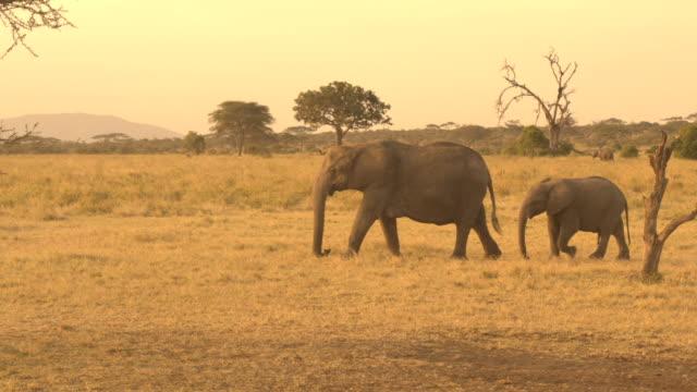 見事な黄金の夕日に母親の尾と遊ぶゾウの赤ちゃんのクローズ アップ - 野生動物旅行点の映像素材/bロール