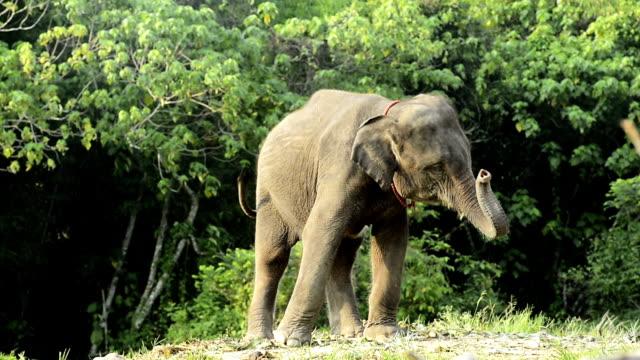 Baby elephant sway trunk video