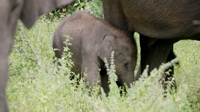 MS Baby elephant underneath mother,Sri Lanka MS Baby elephant underneath mother,Sri Lanka. Rack Focus,Real Time. Shot in 8K Resolution. sri lanka stock videos & royalty-free footage