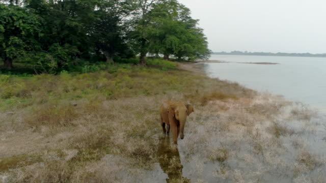 vídeos de stock e filmes b-roll de ms baby elephant wading in water,looking at camera,sri lanka - sri lanka