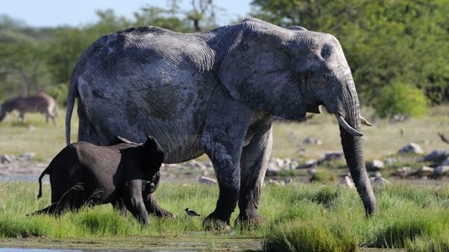 Baby Elephant with Mother Baby Elephant with Mother namibia stock videos & royalty-free footage