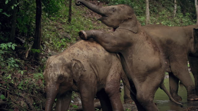 Baby elephants playing Baby elephants playing animal family stock videos & royalty-free footage