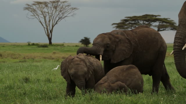 Baby elephants playing. video