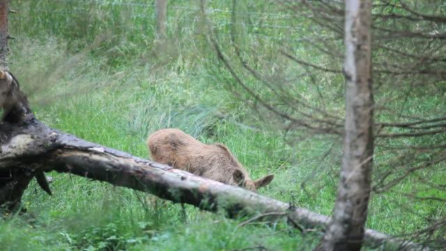 baby elk - älg sverige bildbanksvideor och videomaterial från bakom kulisserna