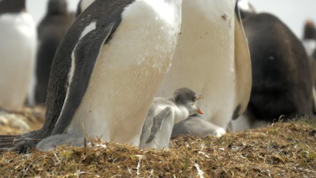 baby gentoo penguin in nest in falkland islands - молодое животное стоковые видео и кадры b-roll