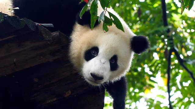 Baby giant panda on the tree Baby giant panda on the tree bear stock videos & royalty-free footage