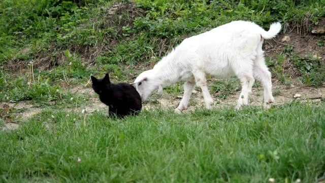 Baby goat and black cat in the garden