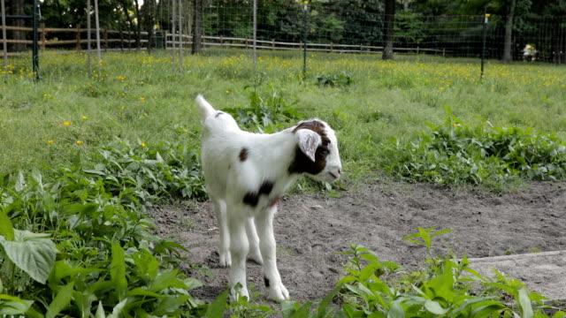 vídeos de stock, filmes e b-roll de cabra do bebê que joga e que bleating - animais da fazenda