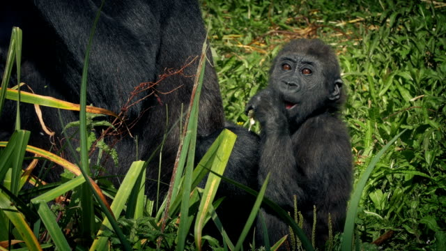 baby gorilla by mother eating foliage - gorilla video stock e b–roll
