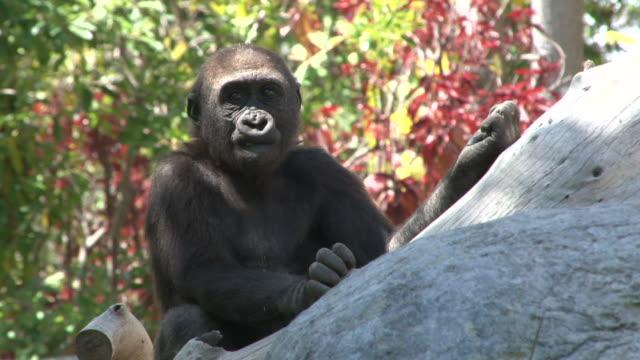 Bebé Gorilla - vídeo