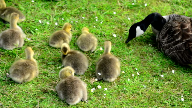 Baby Goslings Feeding on Grass (Clip 4 of 9) video