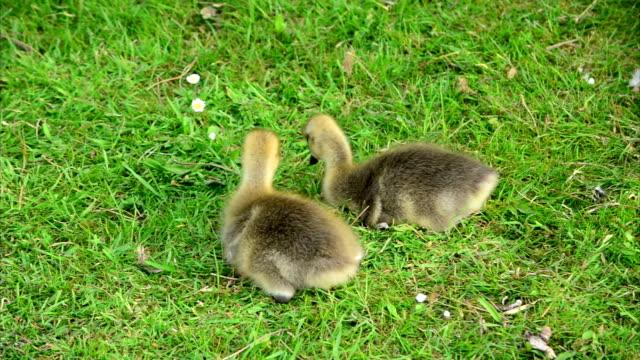 Baby Goslings Feeding on Grass (Clip 6 of 9) video