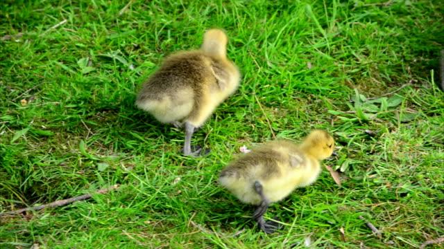 Baby Goslings Feeding on Grass (Clip 5 of 9) video