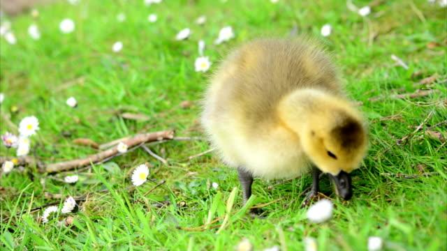 Baby Goslings Feeding on Grass (Clip 9 of 9) video