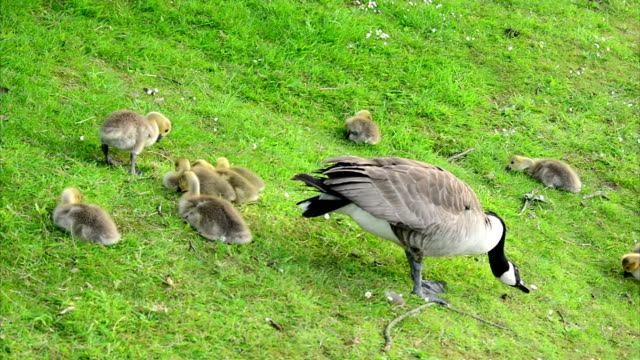 Baby Goslings Feeding on Grass (Clip 1 of 9) video