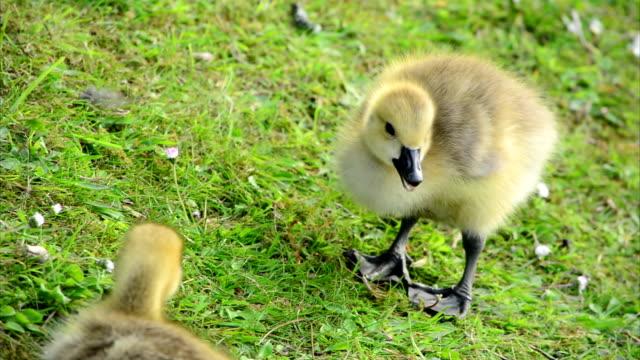 Baby Goslings Feeding on Grass (Clip 2 of 9) video