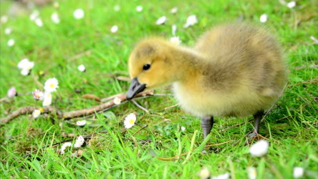 Baby Goslings Feeding on Grass (Clip 8 of 9) video