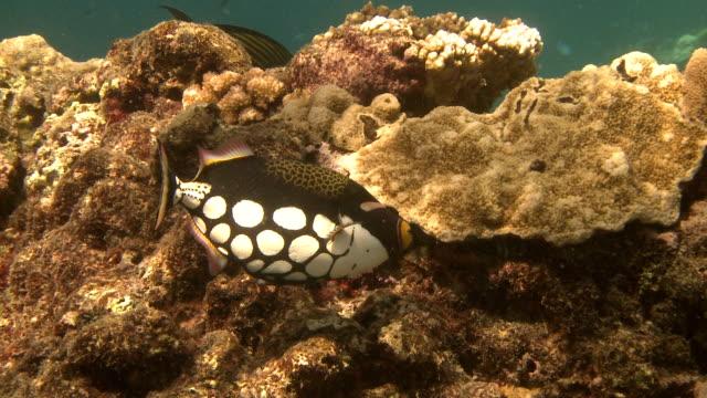 Baby Green Turtle swim crossing the reef. video