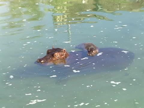 baby hippo - klip uzunluğu stok videoları ve detay görüntü çekimi