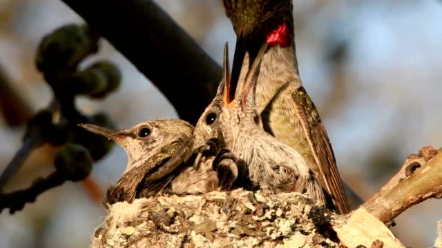 hummingbird dziecka - młody ptak filmów i materiałów b-roll