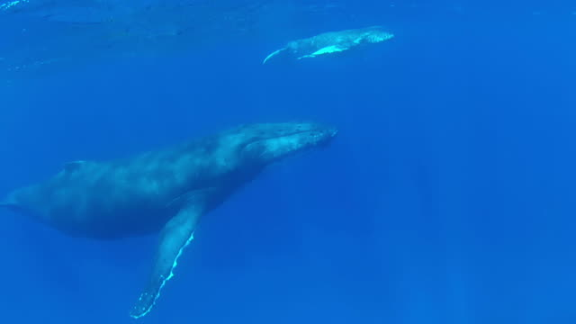 Baby Humpback Whale swimming  at the surface with its mother video
