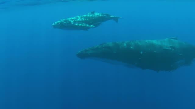 vidéos et rushes de bébé baleine à bosse nager sous la surface avec sa mère - baleine