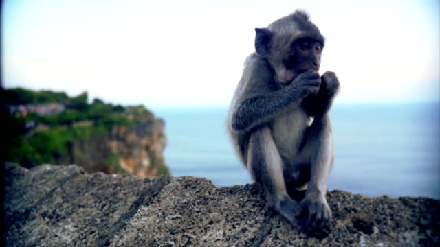 Baby Indonesian monkey scratching sitting eating. video