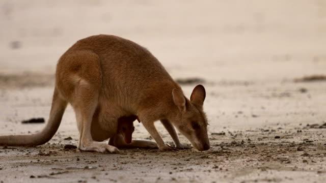 Baby Kangaroo and Mom video