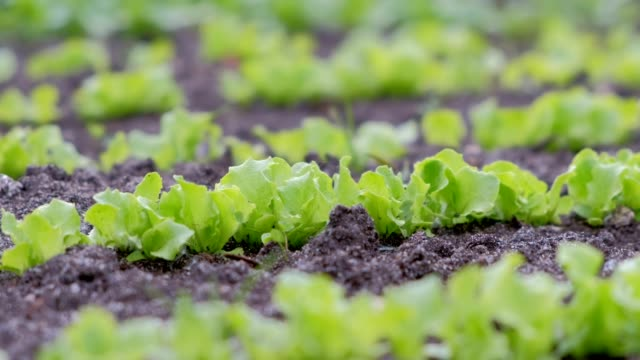 Baby lettuce growing on farm in open ground, farming and gardening concept. video