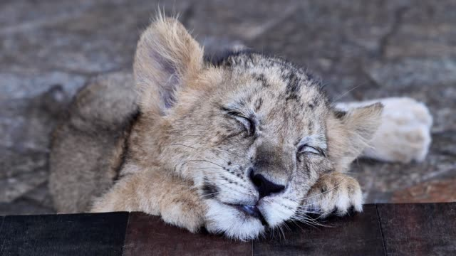 Baby lion sleeping with head on its paw, eyes closed and breathing smoothly, cute animal, 4k footage, slow motion.