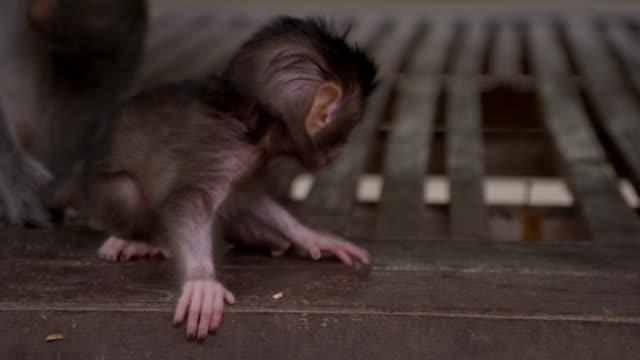 slo mo baby macaque - makak maymunu stok videoları ve detay görüntü çekimi