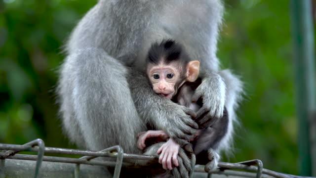 bu bir savunma ubud, bali maymun ormanındaki üstüne konuyla anne ve bebek maymun. görüntüleri alan güzel bir sığ derinliği ile. - makak maymunu stok videoları ve detay görüntü çekimi