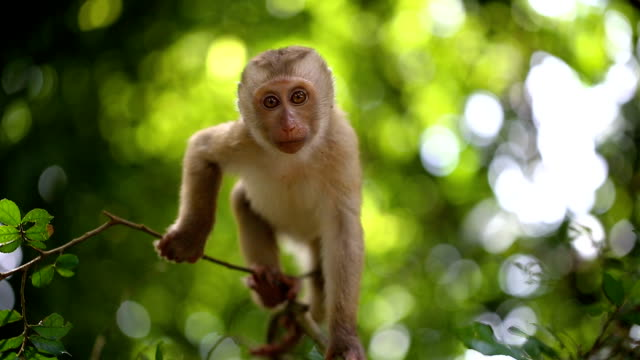 Baby monkey lives in a natural forest of Phuket Thailand. video