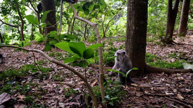 uluwatu bir yağmur ormanlarında oynayan bebek maymun - makak maymunu stok videoları ve detay görüntü çekimi