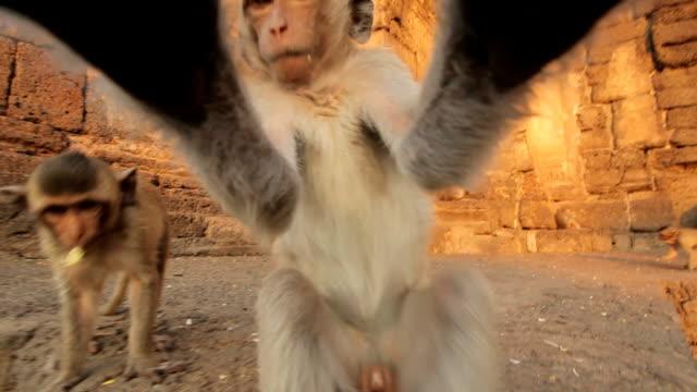 Monos bebé en templo tailandés - vídeo
