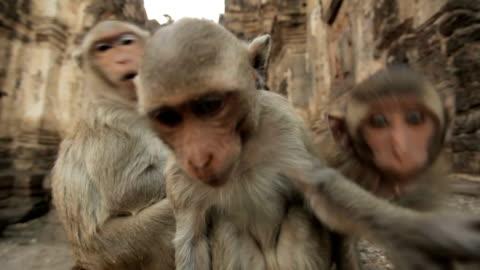 cuccioli di scimmia nel tempio thai - carino video stock e b–roll