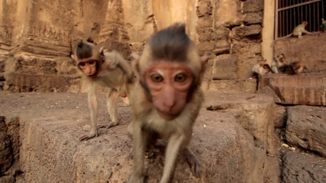 Baby monkeys in Thai Temple,Lopburi, Thailand video