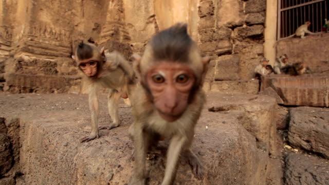 Monos bebé en templo tailandés, Lopburi, Tailandia - vídeo