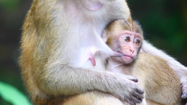 anne kollarında göğüsten süt içen makak maymunu bebek - makak maymunu stok videoları ve detay görüntü çekimi