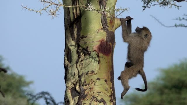 Baby Olive Baboons climbing  in Yellow Fever Acacia Tree in Tanzania Africa video