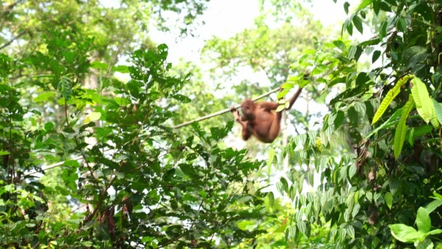 Baby orangutan hanging on the rope