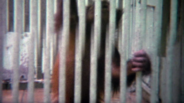 1973: Baby orangutan separated from mother behind thick steel bars. video